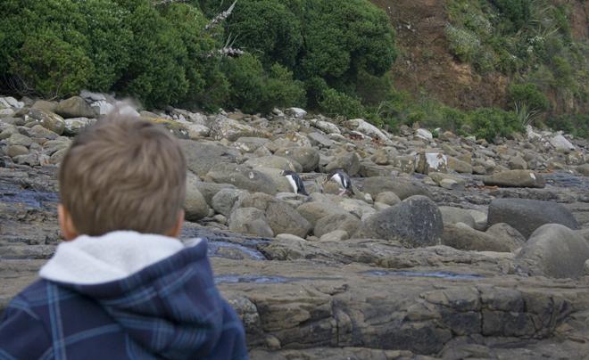 Geeloogpinguïns kijken op Curio Bay