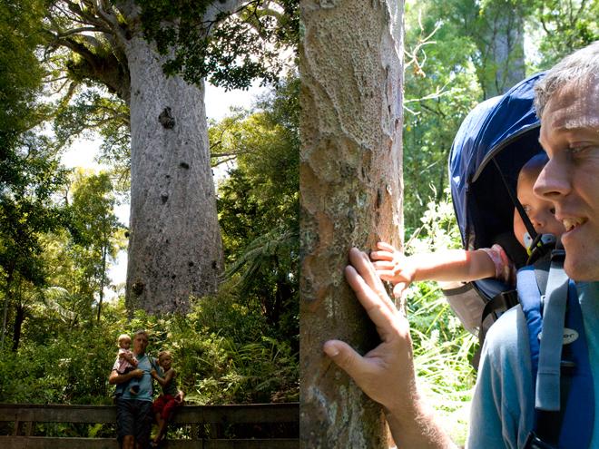 Kauri bomen