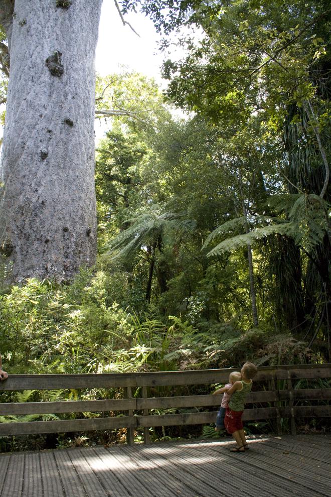 De grootste Kauri boom van Nieuw-Zeeland