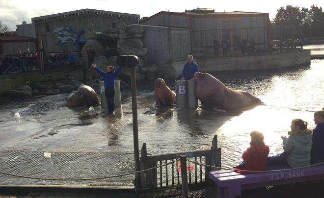 Walrussen die kunstjes doen