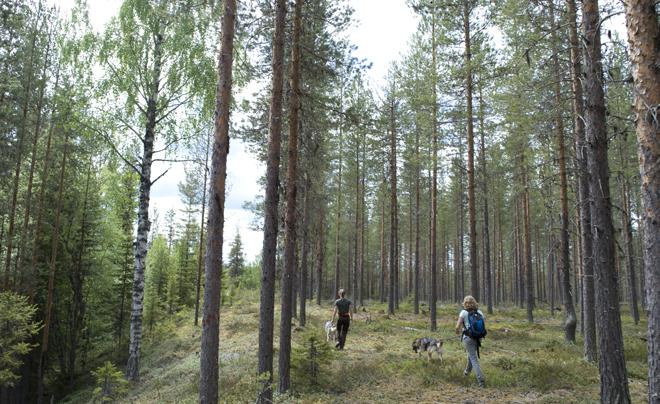 wandelen met husky's in Zweeds Lapland 01