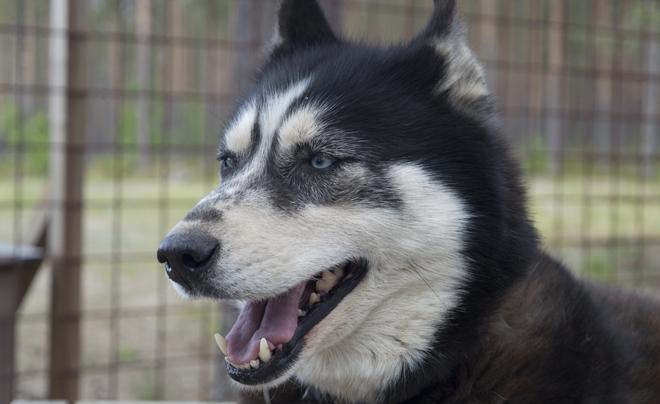 wandelen met husky's in Zweeds Lapland 02